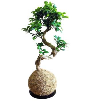 Les Ficus